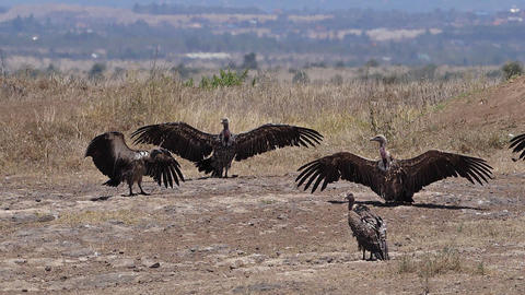 African white-backed vulture, gyps africanus, Group having Sun Bath , Nairobi Park in Kenya, slow Live Action