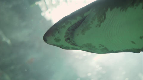shark underwater. Underwater shooting. Underwater shooting of sharks swimming in Live Action