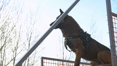 A german shepherd dog catch the stick standing on the stand Live Action