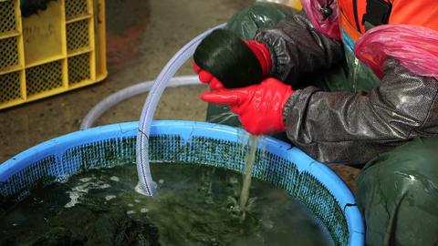 장흥매생이 seaweed fulvescens Live Action