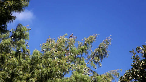 Mississippi Kite in a tree on a blue sky ビデオ