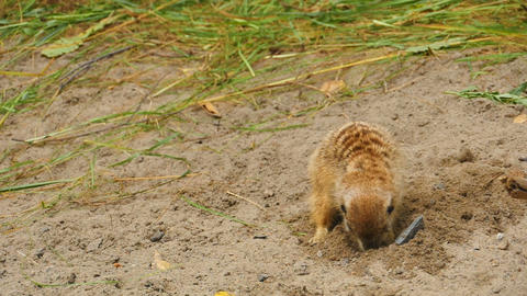 Meerkats digging in the sand Footage