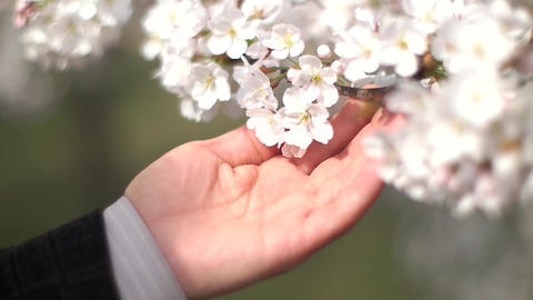 Cherry Blossom and Bee Slow Motion with Mans Hand, Live Action
