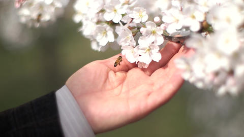 Cherry Blossom and Bee Slow Motion with Mans Hand Live Action