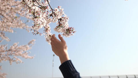 Cherry Blossom with Mans Hand Slow Motion Footage