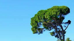Pine conifer tree blue crear sky 4k nature background. Branches in wind Footage