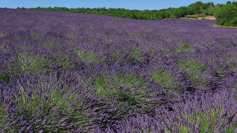 Beautiful Flowers Bloom Blossom In Lavender Field Provence France Footage