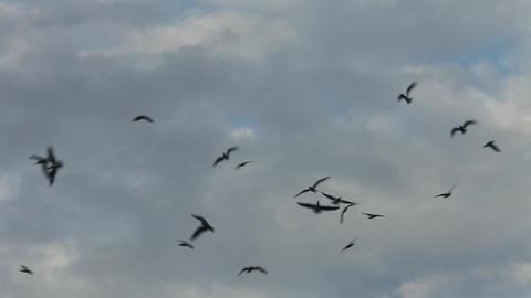 flock of black birds in the sky Footage