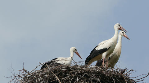 Stork family in the nest, 4k Footage