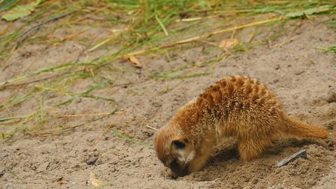 Meerkats digging in the sand Footage