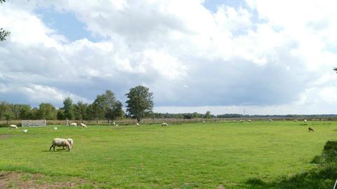 Sheeps in Dutch landscape walking in time lapse Footage