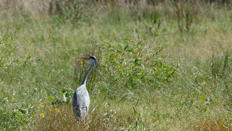 A heron in Dutch meadow field Live Action