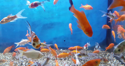 colorful fish tropical in the aquarium with blue water and real environment, flowing with slow Live Action