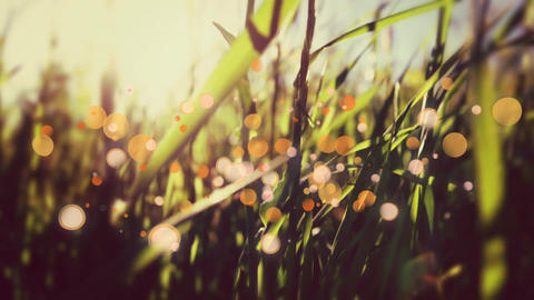 Grass waving in the wind on a sunset Animation