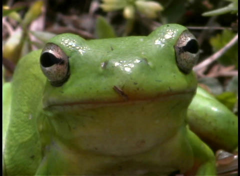 A bright green frog rests in a forest Footage