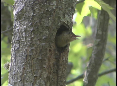 A bird peers out of a hole in a tree Stock Video Footage