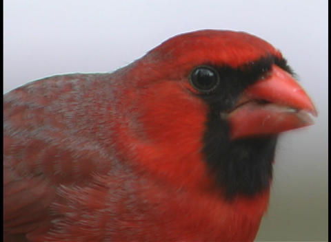 A red cardinal eats a sunflower seed Stock Video Footage