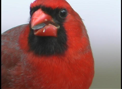A red cardinal eats a sunflower seed Footage