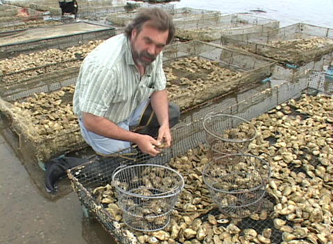 A man measures the individual clams of the day's catch Stock Video Footage