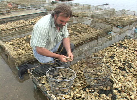 A man measures the individual clams of the day's catch Footage