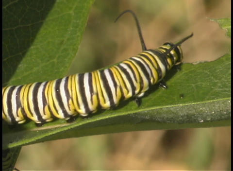 A monarch caterpillar crawls up a leaf Stock Video Footage