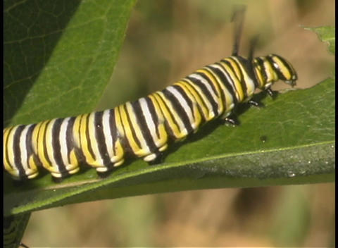 A monarch caterpillar crawls up a leaf Footage