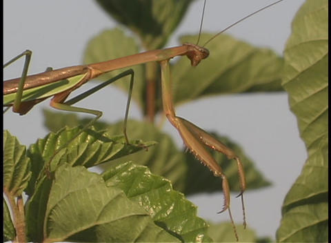 A praying mantis perches on a leaf Stock Video Footage