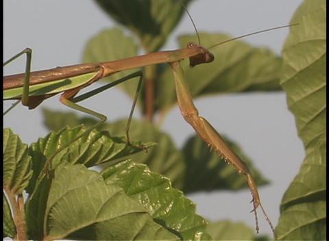 A praying mantis perches on a leaf Footage