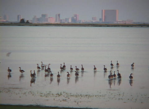 Medium shot of shorebirds wading the ocean with skyline... Stock Video Footage