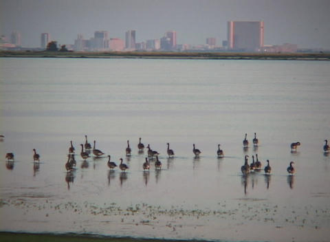 Medium shot of shorebirds wading the ocean with skyline of Atlantic City, New Jersey in the backgr Footage