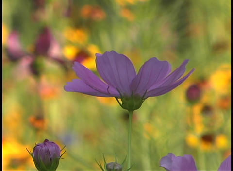 Close up of a purple wildflower swaying in the breeze Stock Video Footage