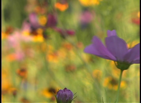Close up of a purple wildflower swaying in the breeze Footage