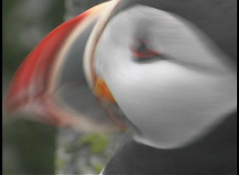 Close up shot of a puffin Stock Video Footage