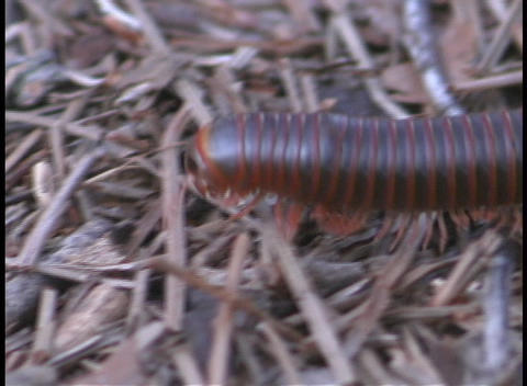 An American Millipede makes its way across the forest floor Stock Video Footage