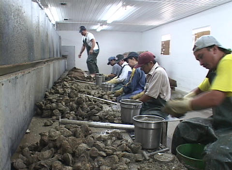 Oyster shuckers work in a factory along the east coast of... Stock Video Footage