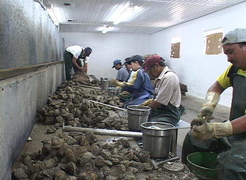 Oyster shuckers work in a factory along the east coast of the United States Footage