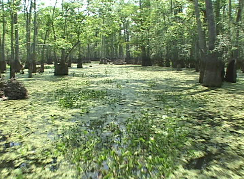 A boat ride through a mangrove swamp Stock Video Footage