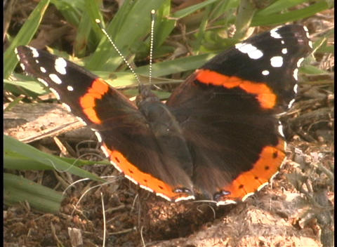 A black and orange butterfly bats its wings while standing on the forest floor Footage