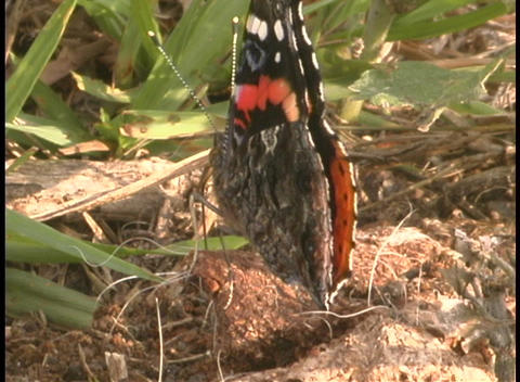 A black and orange butterfly bats its wings while... Stock Video Footage