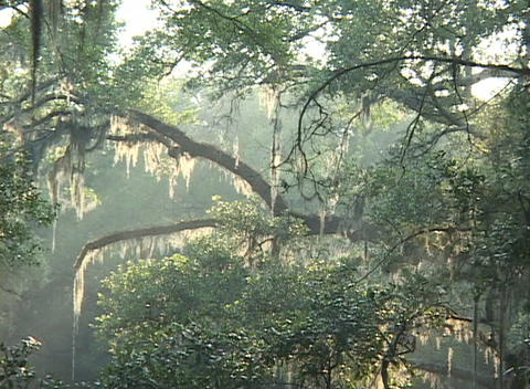 Sunlight shines through mossy trees in a forest in the deep South Footage