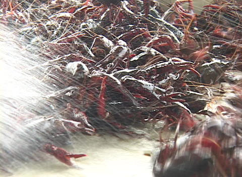 Water washes off a crayfish catch Stock Video Footage