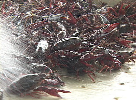 Water washes off a crayfish catch Footage