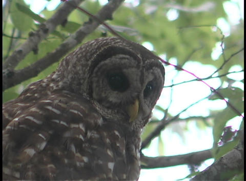 A spotted owl looks down from his perch in a tree Footage