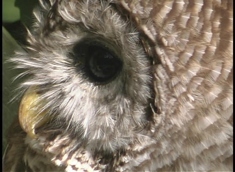 An owl rotates its head and looks towards the sky Footage