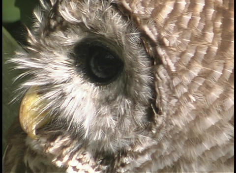 An owl rotates its head and looks towards the sky Stock Video Footage