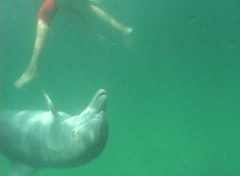 A dolphin plays with a group of swimmers Stock Video Footage