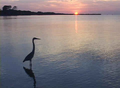 A heron wades in shallow water during golden hour Footage