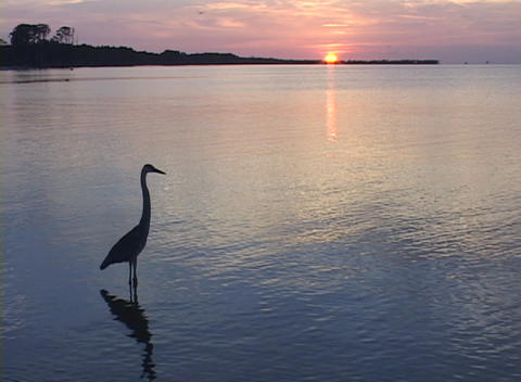 A heron wades in shallow water during golden hour Stock Video Footage