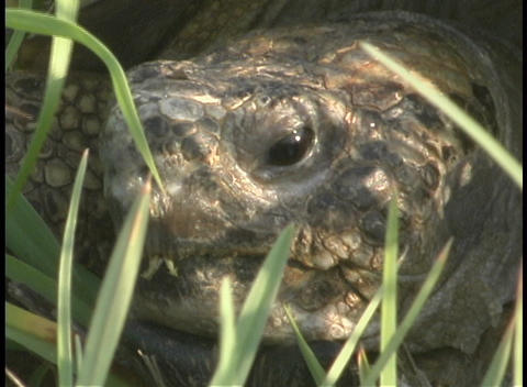 Stalks of grass surround the head of a large tortoise Stock Video Footage