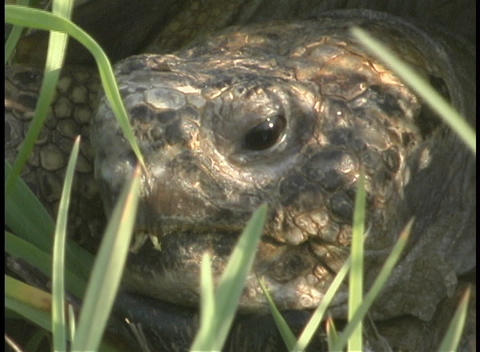 Stalks of grass surround the head of a large tortoise Footage